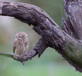 Little Owl (Athene noctua — Foto Stock