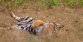 Bengal Tiger (Panthera tigra) — Foto Stock