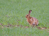 European Brown Hare (Lepus europaeus) — Stock Photo