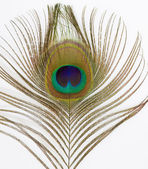 Close up of an isolated Peacock Feather — Stock Photo