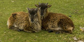 Soay sheep lambs — Stock Photo