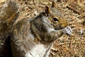 Close up of a gray squirrel (Sciurus carolinensis) — Zdjęcie stockowe