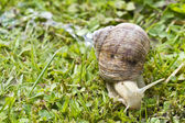 Roman, Burgundian or Edible Snail (Helix pomatia) — Stock Photo