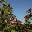Shrub rose hips — Photo