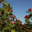 Stock Photo: Shrub rose hips