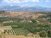 Olive groves — Stock Photo