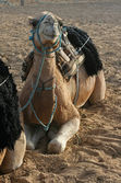 Camel in desert — Stock Photo
