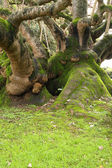 Bent tree covered by moss Ajuda Botanical Garden, Lisbon — Stock Photo