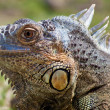 Iguana Delicatissima - Stock Photo