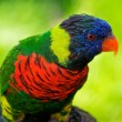 Rainbow Lorikeet portrait — 图库照片