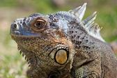 Iguana Delicatissima — Stock Photo