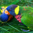 Kissing Rainbow Lorikeets — Stock Photo