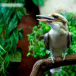 Laughing Kookaburra — Stock Photo