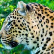 Photo: Leopard portrait