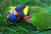 接吻彩虹彩虹小鹦鹉喂食 — 图库照片