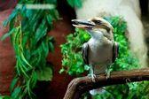 Lachende kookaburra — Stockfoto