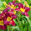 Burgundy Daylilies — Stock Photo