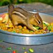 Chipmunk meal — Stock Photo