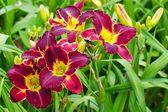 Burgunder daylilies — Stockfoto