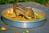 Chipmunk meal — 图库照片