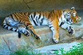 Odpočívající tygr amurský — Stock fotografie