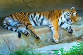 Resting Amur Tiger — Stock Photo