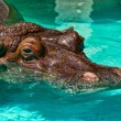 Hippo in the Pool — 图库照片