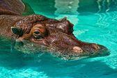 Hippo in het zwembad — Stockfoto