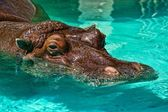 Hippopotame dans la piscine — Photo