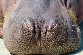 Hippo Nose — Stockfoto
