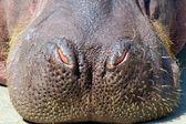 Naso di ippopotamo — Foto Stock