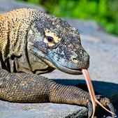 Komodo dragon — Stock fotografie