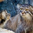 Pallas's Cat kittens — 图库照片