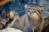 Pallas's Cat kittens — Stock Photo