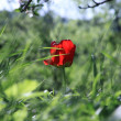Red tulip in the grass — Stock Photo