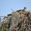 Nesting Osprey — Stock Photo