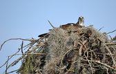 Nesting Osprey — Stock Photo