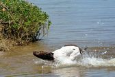 German Shorthair Pointer takes First Swim — Stock Photo