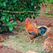 Stock Photo: Rooster and hens behind fence enclosed
