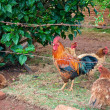 Rooster and hens behind the fence enclosed — Stock Photo