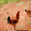 Two chickens walking on farm — Foto Stock #11785974