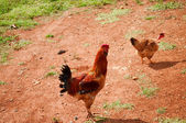 Two chickens walking on the farm — Стоковое фото