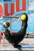 Seal with two balls — Stock Photo