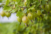 Branch of gooseberry — Stock Photo