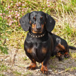 Shorthair dachshund — Stock Photo