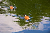 Two ruddy shelducks (Tadorna ferruginea) — Stock Photo