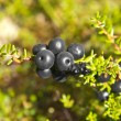 Foto Stock: Crowberries