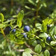 Bog bilberries — Stock Photo