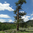 Lone Tree in Colorado Mountains - Stock Photo