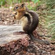 Squirrel on stump - Stock Photo